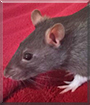 Ratatat the Hooded Rat