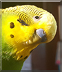 Jade the Budgerigar/Parakeet