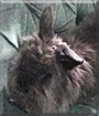 Sparkles the Lionhead Rabbit