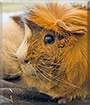 Bambi the Abyssinian Guinea Pig
