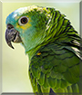Mopar the Blue Front Amazon Parrot