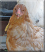 Sugar-Star the Mixed breed Chicken