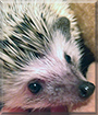 Fern the African Pygmy Hedgehog