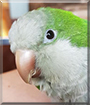 Crona the Quaker Parrot