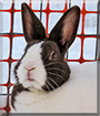 Lily the Dutch Rabbit