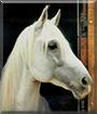 Beauty the Arabian, Lipizzaner cross Horse