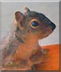 Squall the Grey Squirrel