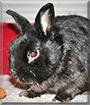 Tobi the Dwarf Rabbit