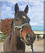 Captain the Shire, Morgan Horse mix