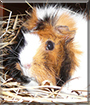 Bella the Rosette Guinea Pig