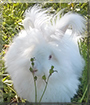Mouse the English Angora Rabbit