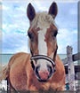 Mulberry the Haflinger Horse