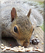 Cecil the Grey Squirrel