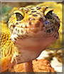 Izzy the Leopard Gecko