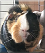 Sunny the American Guinea Pig