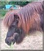 Stormur the Icelandic Horse