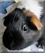 Pixie the Guinea Pig
