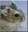 Zig the Winter White Dwarf Hamster