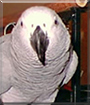 Sassy the African Grey Parrot