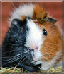 Peanut the Guinea Pig