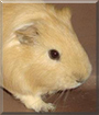 Tomodachi the Guinea Pig,