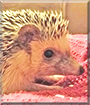 Rhino the African Pygmy Hedgehog
