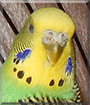 Bidi the Budgerigar