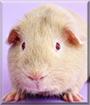 O'Bryan the American Guinea Pig