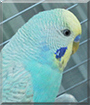 Peruche the Budgerigar
