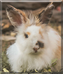 Waluyo the Australian/Angora mix rabbit