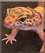 Tangi the Tangerine Gecko