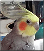 Rembrandt the Cockatiel