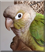 Cinnamon the Green-cheek Conure