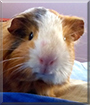 Pancho the Guinea Pig