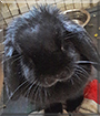 Midnight the Lop Rabbit