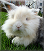 Muru the Lionhead/Lop mix Rabbit
