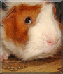 Neo the Guinea Pig