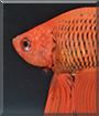 Fuego the Veiltail Betta Fish
