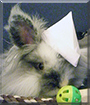 Bruce the Lionhead-Lop Rabbit