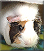 Aeris the Guinea Pig