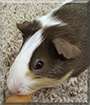 Rose the Shorthair Guinea Pig