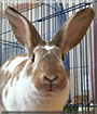 Davy Crockett the English Spot Rabbit