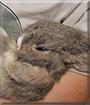 Cassie the Netherland Dwarf Rabbit