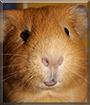 R.J. the Guinea Pig
