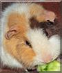 Cupcake the Teddy Guinea Pig