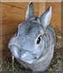 Timmy the Dwarf Rabbit