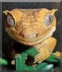 Geronimo the Crested Gecko