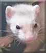 Percy the Ferret