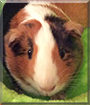 Callie the American Guinea Pig