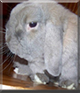 Bob the Holland Lop Rabbit